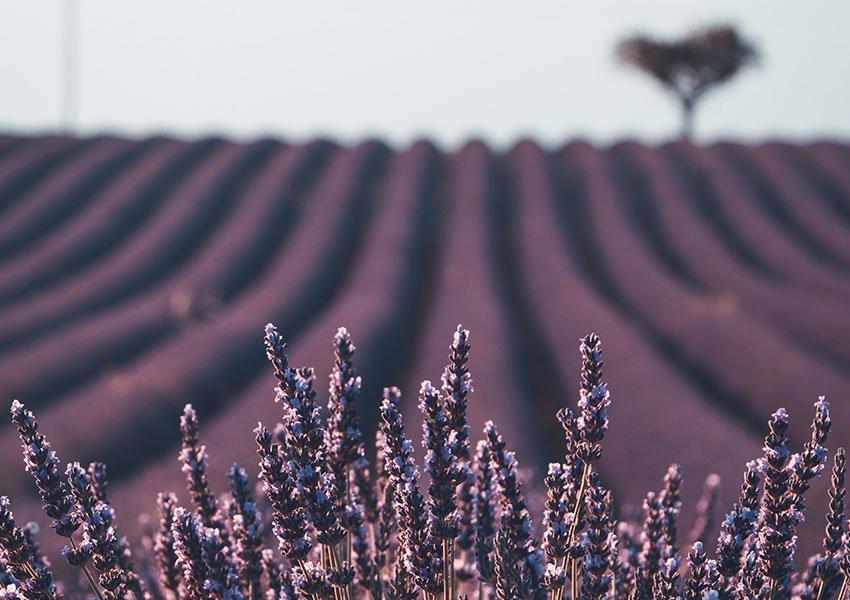 lavendelveld met prachtige kleuren en geuren franse platteland